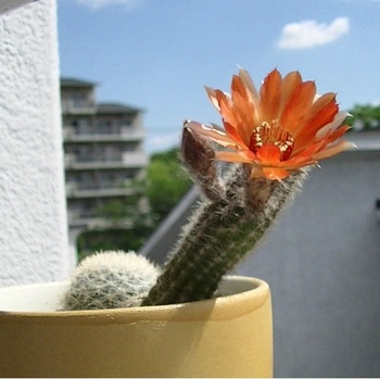 サボテンの花.jpg
